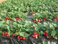 丰香草莓苗